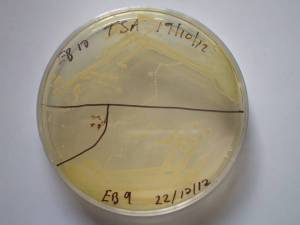 Picture 8: Ant trail spreading cholera on a Trypticase Soy Agar plate (see line from top of plate to the bottom across the middle).